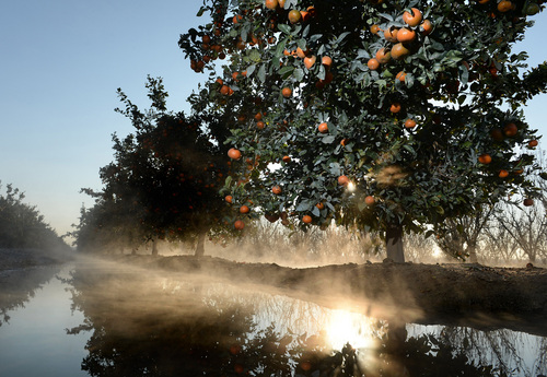 Mist rises from an orange grove during freezing weather on Thursday, Dec. 5, 2013, west of Reedley, Calif. Citrus farmers are no stranger to frost and use irrigation and wind machines to propel warm air through the fields and raise the temperature of the air enveloping the groves. (AP Photo/The Fresno Bee, MARK CROSSE) LOCAL PRINT OUT (VISALIA TIMES-DELTA, REEDY EXPONENT, KINGBURG RECORDER, SELMA ENTERPRISE, HANFORD SENTINEL, PORTERVILLE RECORDER, MADERA TRIBUNE, THE BUSINESS JOURANL FRENSO); LOCAL TV OUT (KSEE24, KFSN30, KGE47, KMPH26) (REV-SHARE)