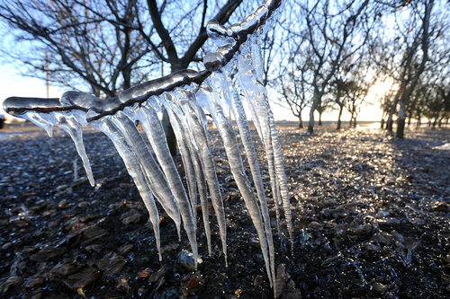 Icicles form on a low hanging branch of a walnut orchard tree off of Hwy 33 south of Patterson during Thursday morning's freezing temperatures.  The practice of irrigating an orchard before a freeze is used by farmers to help protect orchards from the harmful effects of the freezing temperatures.  (AP Photo/The Modesto Bee, Elias Funez)