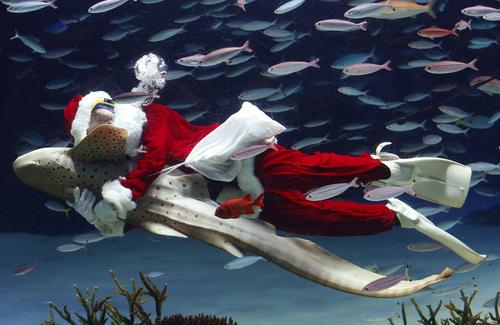 An aquarium staff member dressed in a Santa Claus costume embraces a Zebra shark as he swims with fish inside the Sunshine International Aquarium in Tokyo, Wednesday, Dec. 11, 2013. (AP Photo/Shizuo Kambayashi)