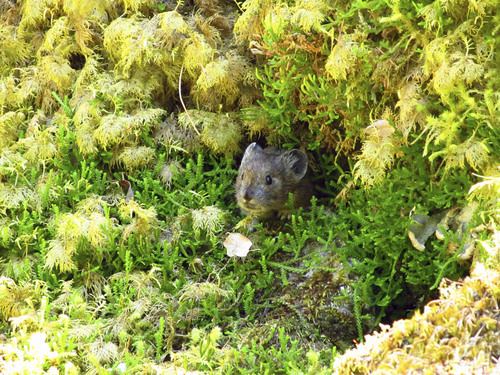 Jo Varner | Courtesy University of Utah. A small mammal known as a pika peers out from thick moss in Oregon's Columbia River Gorge. A University of Utah study found the pikas survive warmer low elevations in Oregon by eating a diet of 60 percent moss, compared with their grassier diet at high elevations.