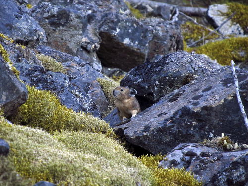 Jo Varner | Courtesy University of Utah. A pika sits among rocks and moss on a rockslide in Oregon's Columbia River Gorge. The animals are threatened by climate change and heat at higher elevations, but University of Utah biologists found they survive at low elevations in Oregon by eating and redigesting moss. The researchers nicknamed this pika Tyson, after boxer Mike Tyson, because part of an ear was bitten off.