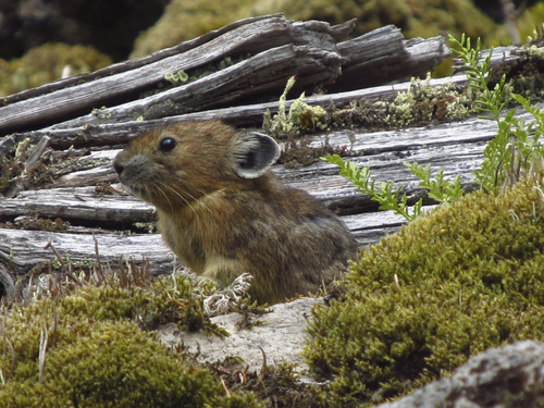 Mallory Lambert | Courtesy University of Utah. A rabbit relative known as a pika sits among wood, moss and rocks on rockslide or talus slope in Oregon's Columbia River Gorge. A University of Utah study found the pikas -- which normally live at much higher elevations and are threatened by climate change – survive at nearly sea level in Oregon by eating more moss than any other known wild mammal.