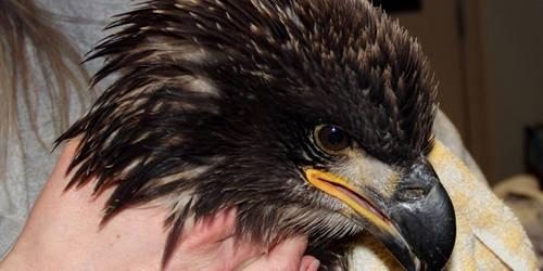 Courtesy photo | Wildlife Rehabilitation Center of Northern Utah  This female juvenile bald eagle turned into the Wildlife Rehabilitation Center of Northern Utah last week died after showing symptoms similar to a mysterious malady impacting bald eagles in northern Utah.