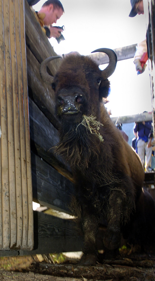 One of the 101 bison funnels through the chute and onto a truck as the leace Catalina for a trip home to South Dakota. Courtesy Brad Graverson  |  Los Angeles Daily News