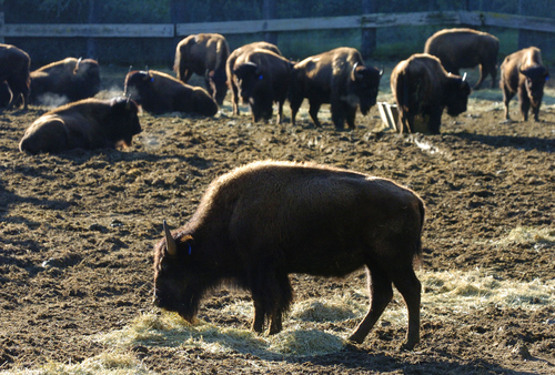 Catalina bison sit in pens before begining trip to South Dakota and the Rosebud Lakota tribe reservation.  Courtesy Brad Graverson  |  Los Angeles Daily News