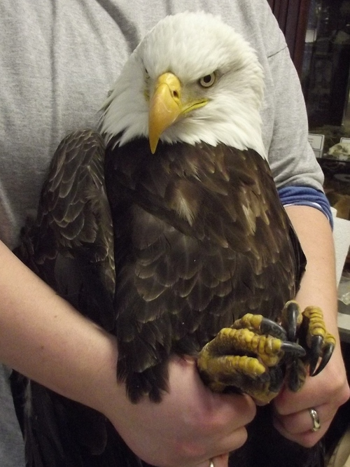 Twelve bald eagles have died in Utah from a yet unknown malady. The yet unknown malady continues to grow and the cases appear to be happening at a quicker pace and only seem to be impacting bald eagles in northern Utah. A family from Bountiful turned in this mature bald eagle with symptoms Sunday.  Courtesy photo