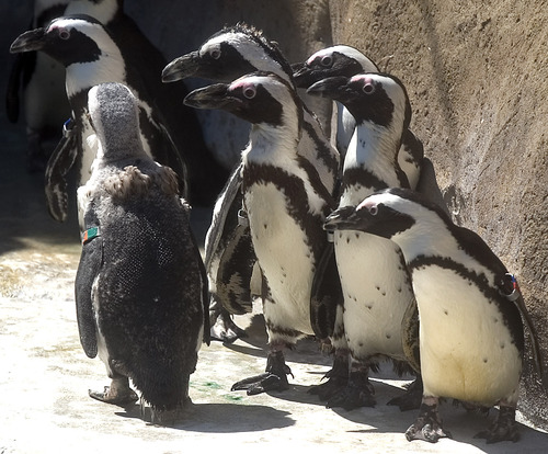 Al Hartmann | Tribune file photo Hogle Zoo celebrates its coolest summer tradition on Saturday, giving its animals piles of crushed ice and treats frozen in ice pops to help them beat the heat.