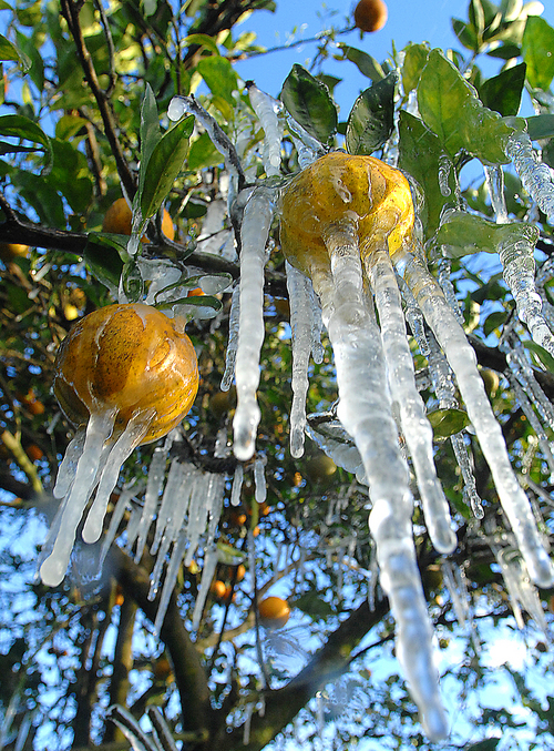 Icicles hang from oranges Tuesday, Jan. 7, 2014, at Bellamy Grove in Inverness, Fla. Chuck Bellamy, the north central Florida grove operator, said temperatures reached 30 degrees just before sunrise but he believes the fruit was spared damage. He expects another cold morning Wednesday, but a strong warming trend is forecast through the weekend. (AP Photo/The Citris County Chronicle,  Matthew Beck)  ST. PETERSBURG TIMES OUT; OCALA STAR-BANNER OUT