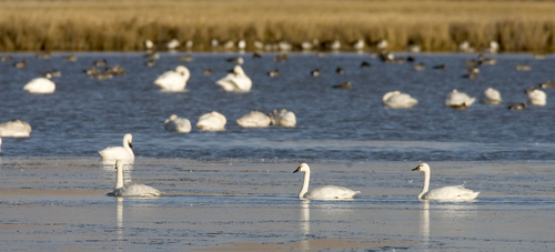 Al Hartmann  |  The Salt Lake Tribune Tundra Swans gather Wednesday November 16 at the Bear River Migratory Bird Refuge West of Brigham City.    The swans are in the middle of their migration with an estimated 40,000 birds stopping over in Northern Utah.