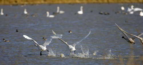 Al Hartmann  |  The Salt Lake Tribune Flock of Tundra Swans take off from Salt Creek Waterfowl Managment Area south of Tremonton on Wednesday November 16.  The swans are in the middle of their migration with an estimated 40,000 birds stopping over. The swans can also be seen in large numbers a few miles south at the Bear River Migratory Bird Refuge.