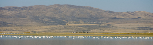 Al Hartmann  |  The Salt Lake Tribune Tundra Swans stretch in a line for several miles Wednesday November 16 at the Bear River Migratory Bird Refuge West of Brigham City. The swans are in the middle of their migration with an estimated 40,000 birds stopping over in Northern Utah.