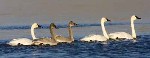 group-of-swan-is-called-bevy-or-wedge