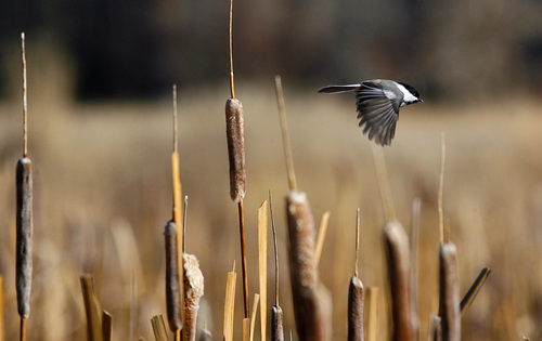 Scott Sommerdorf  |  The Salt Lake Tribune              A Black Capped Chickadee darts among the cattails and reeds just south of Jordanelle Reservoir during the 112th annual Audubon Christmas Bird Count. Counts are being held across the state, Saturday, December 17, 2011.