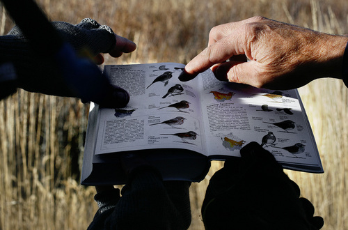 Scott Sommerdorf  |  The Salt Lake Tribune              Duane Smith and Robert Duke look through a Sibley's Bird Guide to find the correct identification of Song Sparrow they located during the 112th annual Audubon Christmas Bird Count. Counts are being held across the state, Saturday, December 17, 2011.