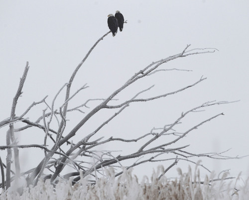 Al Hartmann  |  The Salt Lake Tribune Pair of Bald Eagles hunt from a snag in the fog at Farmington Bay Waterfowl Management Area Wednesday January 23.    The Division of Wildlife Resources will hold its annual Utah Bald Eagle Day Saturday  February 11 at five locations around the state.