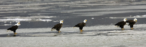 Al Hartmann   |  The Salt Lake Tribune  Bald Eagles stand in a row on an ice patch while fishing at Farmington Bay State Waterfowl Management Area on Monday February 7th.  Farmington Bay is a great place to see numerous birds for Bald Eagle Day on February 12th.