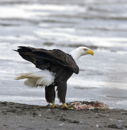 Al Hartmann   |  The Salt Lake Tribune  Bald Eagle stands guard over a partially eaten fish at Farmington Bay State Waterfowl Management Area on Monday February 7th.  Farmington Bay is a great place to see numerous birds for Bald Eagle Day on February 12th.