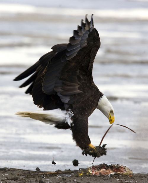 Al Hartmann   |  The Salt Lake Tribune  Bald Eagle lands to feed on on a partially eaten fish at Farmington Bay State Waterfowl Management Area on Monday February 7th.  Farmington Bay is a great place to see numerous birds for Bald Eagle Day on February 12th.