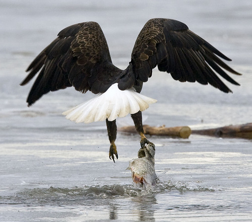 Al Hartmann   |  The Salt Lake Tribune  A Bald Eagle struggles to lift off the shallow water with a large carp at Farmington Bay State Waterfowl Management Area on Monday February 7th.  Farmington Bay is a great place to see numerous birds for Bald Eagle Day on February 12th.