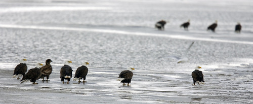 Al Hartmann   |  The Salt Lake Tribune  About a dozen Bald Eagles sit on the ice hunting for fish at Farmington Bay State Waterfowl Management Area on Monday February 7th.  Farmington Bay is a great place to see numerous birds for Bald Eagle Day on February 12th.