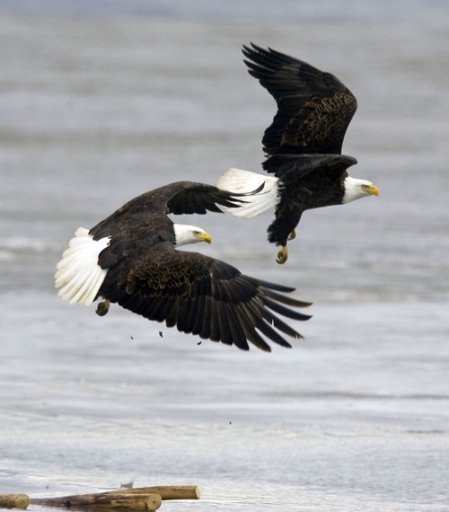 Al Hartmann   |  The Salt Lake Tribune  Bald Eagles fly over shallow water and ice while hunting for fish at Farmington Bay State Waterfowl Management Area on Monday February 7th.  Farmington Bay is a great place to see numerous birds for Bald Eagle Day on February 12th.