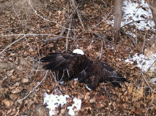 A fifth bald eagle displaying a mysterious illness was picked up by Utah Division of Wildlife Resources on Saturday, December 14 on the Weber River in West Weber after receiving a report about the bird from waterfowl hunter. The bird is showing characteristics of four other eagles that eventually died.  Photo by Mitch Lane/Utah Division of Wildlife Resources