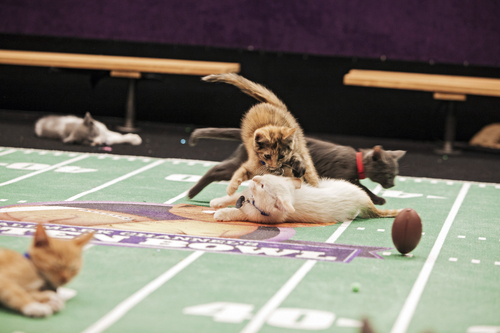 "This Oct. 2013 photo provided by Crown Media United States, LLC shows Ferrell Owens playing during the ""Kitten Bowl."" The ""Kitten Bowl"" games air on Sunday, Feb. 2, 2014, 12 p.m. ET/PT on the Hallmark Channel. (AP Photo/Copyright Crown Media United States, LLC, Monique Toro)"