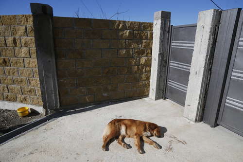 A stray dog sleeps on a road near Olympic Park in Sochi, Russia, Monday, Feb. 3, 2014. A pest control company which has been killing stray dogs in Sochi for years told The Associated Press on Monday that it has a contract to exterminate more of the animals throughout the Olympics. (AP Photo/Pavel Golovkin)
