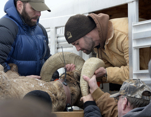 Al Hartmann     The Salt Lake Tribune State wildlife biologists load a captured Bighorn Sheep ram from the herd on Antelope Island into a trailer to be transported to central Utah near Oak City Tuesday, Jan. 7, 2014. They sheep were given a health check, ear tag and radio collar.