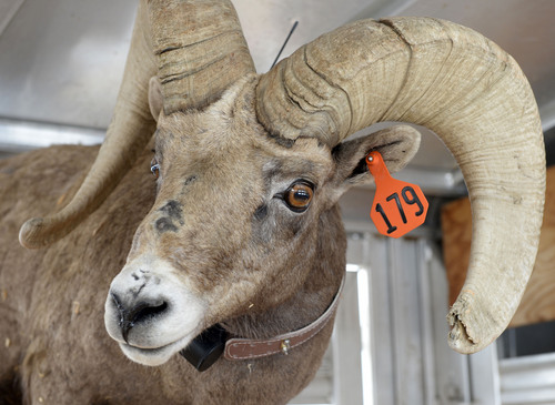 Al Hartmann     The Salt Lake Tribune A captured Bighorn Sheep ram is ear tagged, fitted with a radio collar and readied for transport from Antelope Island to start a new herd in central Utah.