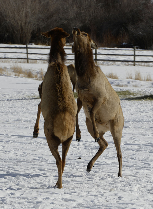 Francisco Kjolseth  |  The Salt Lake Tribune A pair of cow elk challenge one another in a move called boxing at Hardware Ranch Wildlife Management in Blacksmith Fork Canyon.