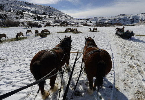 Francisco Kjolseth  |  The Salt Lake Tribune Clydesdales names Beauty, left, and her daughter Little Foot pull guests close to hundreds of feeding elk in Hardware Ranch Wildlife Management Area up Blacksmith Fork Canyon.