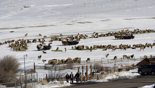 Francisco Kjolseth  |  The Salt Lake Tribune Several wagons being pulled by Clydesdales at Hardware Ranch Wildlife Management Area in Blacksmith Fork Canyon take visitors on a unique 20 to 30 minute ride amongst the 500 elk on a recent winter weekend.
