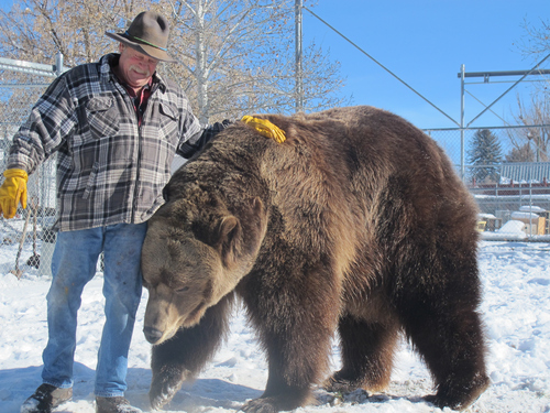 Brett Prettyman   The Salt Lake Tribune  Doug Seus works with Bart the Bear during a recent training session at their ranch in Heber City. Bart 2, seen here, and his predecessor, Big Bart, have an impressive list of movie credentials and helped start and continue to support Vital Ground, a nonprofit dedicated to preserving grizzly bear populations by conserving wildlife habitat.