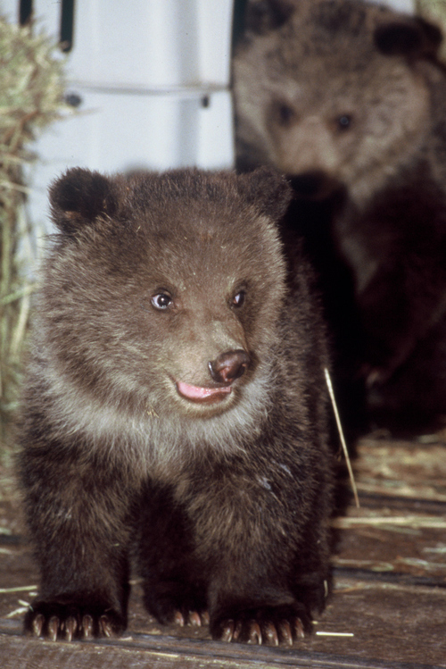 Courtesy photo by Andrew Holloway  Orphaned grizzly bear cubs Bart and Honey Bump arrived from Alaska in 1990 and quickly became movie stars.