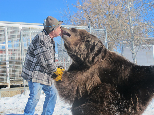 Brett Prettyman | The Salt Lake Tribune  Doug Seus works with Bart the Bear during a recent training session at their ranch in Heber City. Bart 2, seen here, and his predecessor, Big Bart, have an impressive list of movie credentials and helped start and continue to support Vital Ground, a nonprofit dedicated to preserving grizzly bear populations by conserving wildlife habitat.