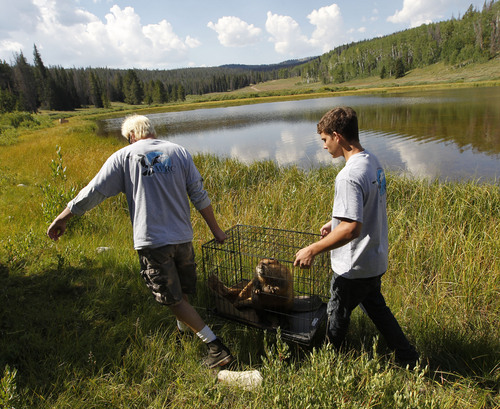 Al Hartmann  |  The Salt Lake Tribune Volunteers from Wildlife Rehabilitation Center of Northern Utah carry one of five Willard Bay Beavers brought back to health to it's new home in the Uinta Mountains Tuesday August 13.