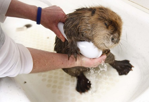 Leah Hogsten  |  The Salt Lake Tribune Beaver #3 gets one of its three baths of the day April 4, 2013. The three that were initially brought to the rehab center are improving in their digestive and respiratory systems. Chevron has provided a check of $25,000 to help the Wildlife Rehabilitation Center of Northern Utah make up what it expected to make at a fundraiser that had to be cancelled due to the around-the-clock care of the beavers in the Willard Bay diesel spill.