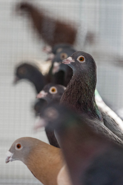 Trent Nelson  |  The Salt Lake Tribune Pigeons at the University of Utah, Wednesday February 5, 2014 in Salt Lake City. Associate Professor Mike Shapiro's new study documents a gene that causes color variation in pigeons.