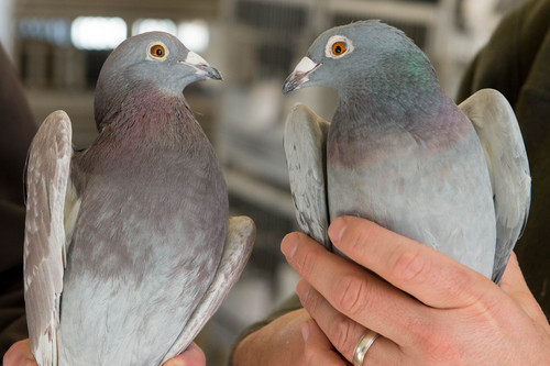 Trent Nelson  |  The Salt Lake Tribune A pair of racing homer pigeons with differing color at the University of Utah, Wednesday February 5, 2014 in Salt Lake City. Associate Professor Mike Shapiro's new study documents a gene that causes color variation in pigeons. At left, ash red. At right, blue.