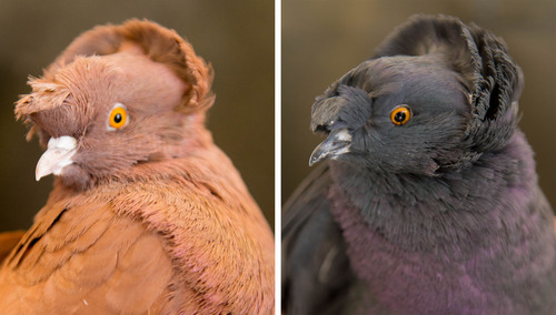 Trent Nelson  |  The Salt Lake Tribune English Trumpeter pigeons with differing color at the University of Utah, Wednesday February 5, 2014 in Salt Lake City. Associate Professor Mike Shapiro's new study documents a gene that causes color variation in pigeons. At left, recessive red. At right, black.