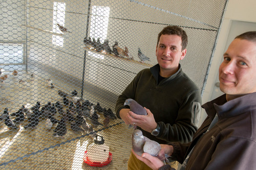 Trent Nelson  |  The Salt Lake Tribune Associate Professor Mike Shapiro and post-doctorate fellow Eric Domyan with a pair of pigeons at the University of Utah, Wednesday February 5, 2014 in Salt Lake City. Shapiro's new study documents a gene that causes color variation in pigeons.