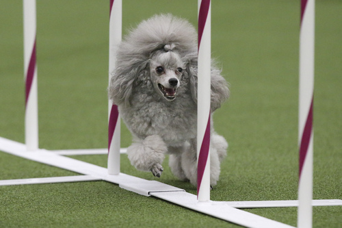 Tommy the Poodle runs the weave poles during the Masters Agility Championship at Westminster staged at Pier 94, Saturday, Feb. 8, 2014, in New York. The first annual agility championship is part of the  Westminster Kennel Club dog show. (AP Photo/John Minchillo)