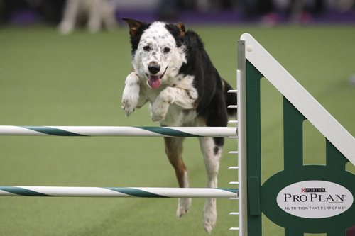 Panda the All American Dog, otherwise known as mixed breed, takes a jump during the first annual Masters Agility Championship the Westminster Kennel Club staged at Pier 94, Saturday, Feb. 8, 2014, in New York. The competition marks the first time mixed-breed dogs have appeared at Westminster since early in the show?s 138 years. (AP Photo/John Minchillo)