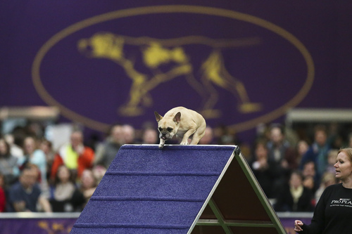Henry, a French Bulldog, scales the A-frame obstacle during the Masters Agility Championship the Westminster Kennel Club staged at Pier 94, Saturday, Feb. 8, 2014, in New York. The competition marks the first time mixed-breed dogs have appeared at Westminster since early in the show's 138 years. (AP Photo/John Minchillo)