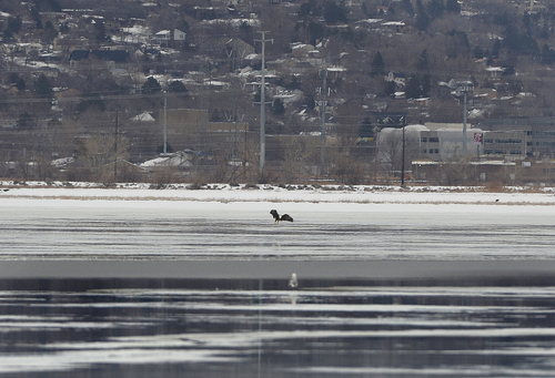 Scott Sommerdorf   |  The Salt Lake Tribune A distant Bald Eagle was one of the few sightings of eagles during Bald Eagle Day at Farmington Bay Waterfowl Management Center on Saturday. Photographers were mostly frustrated by the few eagles and how far they stayed away from viewing areas.