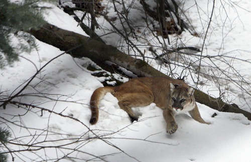 Francisco Kjolseth     The Salt Lake Tribune In this photo from April 2011, a 4-year-old female mountain lion slowly shakes off the effects of a sedative after afer being captured in the Oquirrh Mountains.