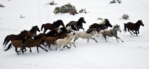 Chris Detrick     The Salt Lake Tribune Wild horses from Utah's Swasey herd are rounded up by Cattoor Livestock Roundup Co in the West Desert near the Swasey Mountains Thursday February 14, 2013. Under the Bureau of Land Management operation 50 miles west of Delta, helicopter wranglers will gather 262 horses. One hundred will be released back into the Swasey Herd Management Area -- one of Utah's 19 HMAs on federal land. Many of the horses released will be mares treated with the contraceptive Porcine Zona Pellucida (PZP-22).
