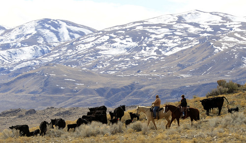 Leah Hogsten  |  The Salt Lake Tribune LuAnn Adams and husband Bob ride out to check on 3-week-old calves amid their herd of Angus cattle Saturday, February 22, 2014 at their ranch in Promontory. The former Box Elder County Commissioner, LuAnn Adams, is the new commissioner of Agriculture for Utah and the first woman to hold the post. Adams is a self-described cowgirl whose favorite thing is to ride horses, travel in an antique buckboard wagon and cook Sunday dinners for her five children and 12 grandchildren.