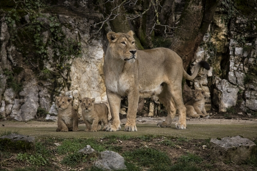 Asiatic lion Shiva, the mother of three cubs, looks out over her domain in the Besancon zoo, eastern France, Thursday, Feb. 27, 2014. The Besancon zoo held off announcing the December 31 2013 births until this week, afraid the two females and a male might not survive. There are about 300 Asiatic lions in the wild, all in an Indian reserve, according to the WWF. It's one of the world's rarest species. (AP Photo/Laurent Cipriani)